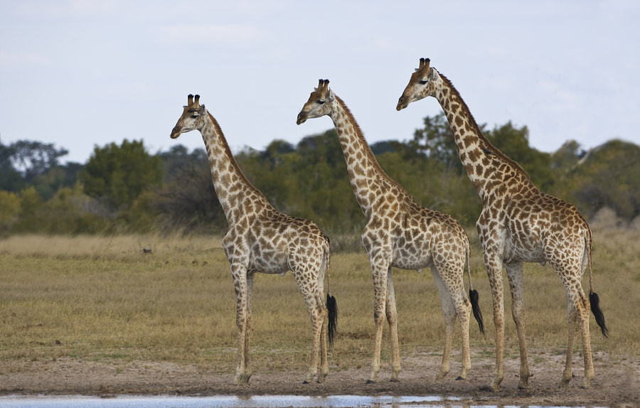 Giraffes have develpoed staring into a fine art, sometimes it can be useful, but in this instance we had no idea, Hwange National Park, Zimbabwe