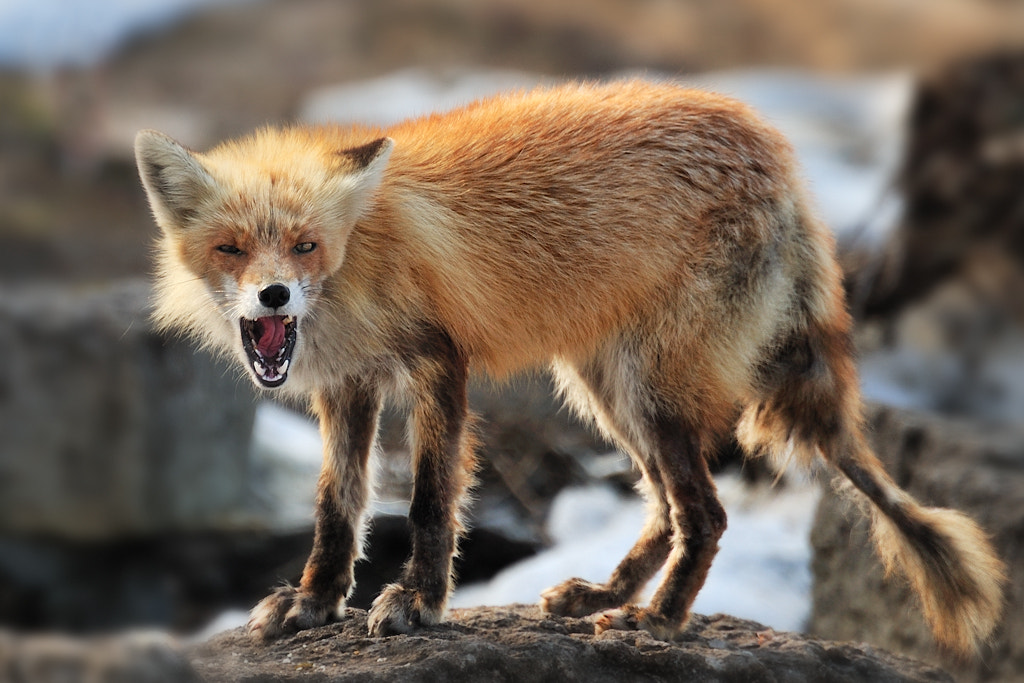 Photograph Mr. Fox fights to live by Kent Shiraishi on 500px
