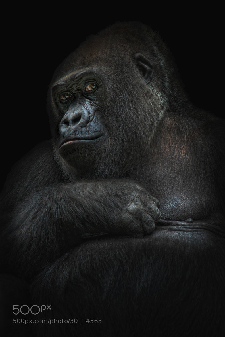 Photograph shy gorilla girl by Joachim G.  Pinkawa on 500px
