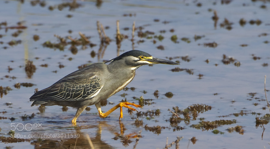 A Green Backed Heron stals the shore of Rhino Island, Matusadona National Park, Zimbabwe