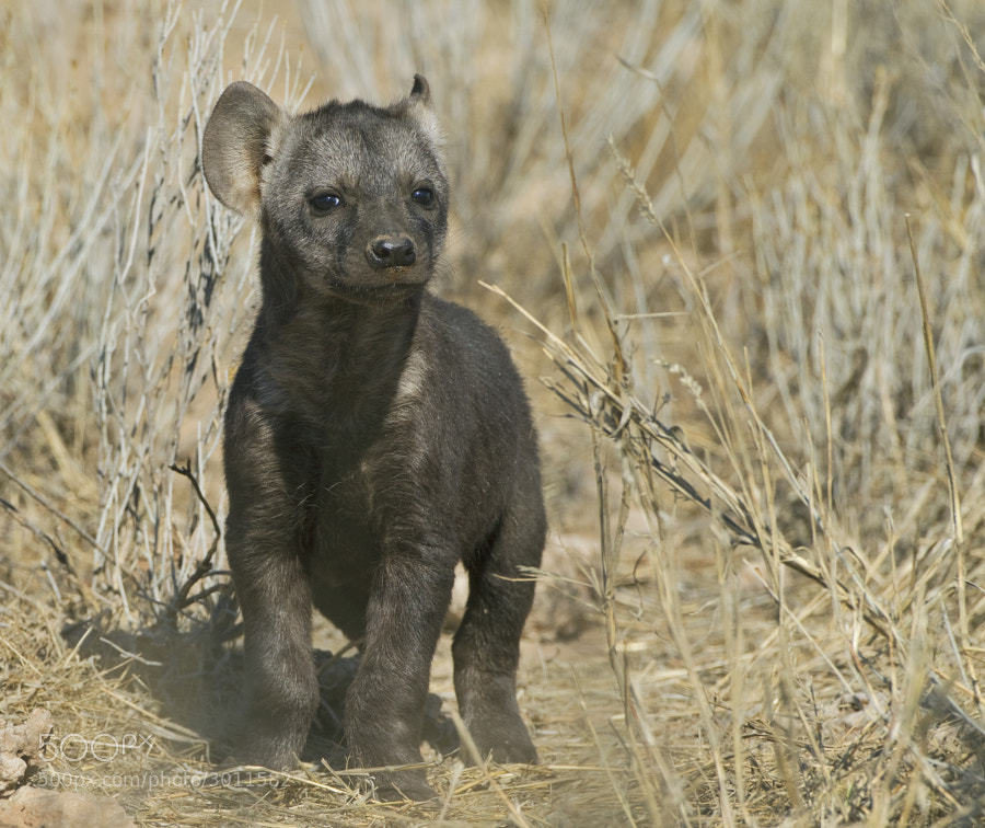 "This very young Hyena igets curios as to who  or what we are. Taken at our ""magical"" sighting in Kgalagadi Transfrontier Park, South Africa"