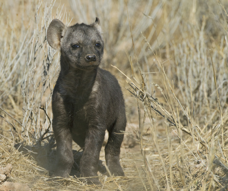 """This very young Hyena igets curios as to who  or what we are. Taken at our """"magical"""" sighting in Kgalagadi Transfrontier Park, South Africa"""