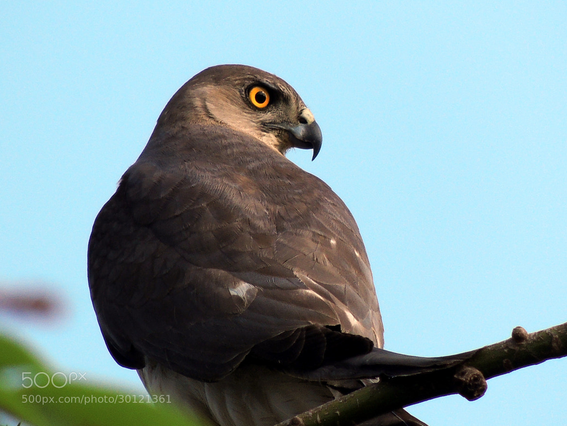 Photograph Hawk Eye. by Ravi S R on 500px