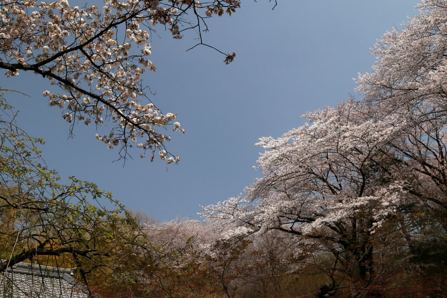 Sakura by flyingpenguin 70 on 500px.com