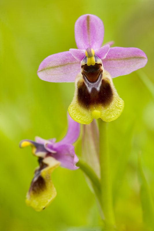 Photograph Ophrys tenthredinifera by Rafa García on 500px