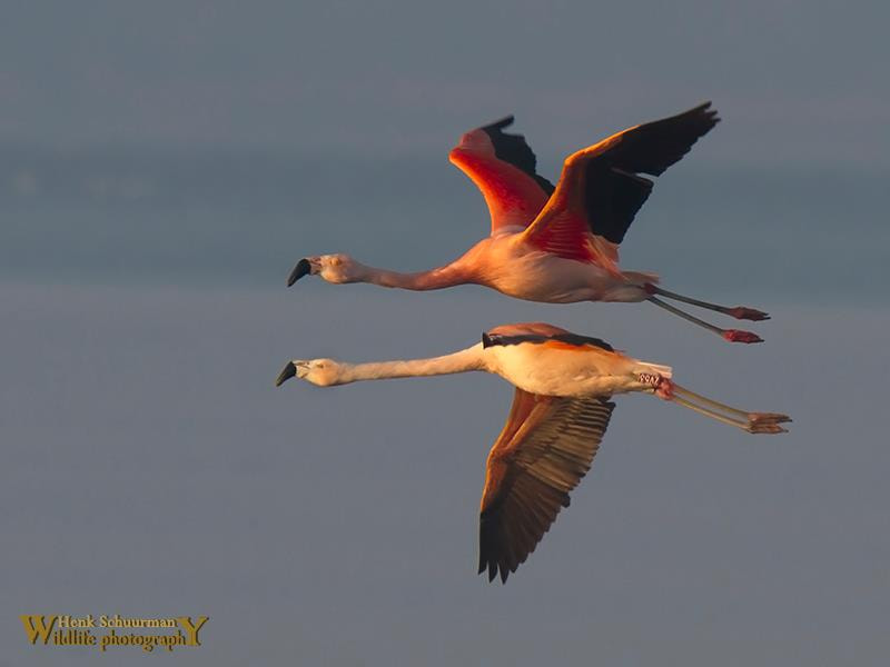 Photograph Flamingo duo by Henk Schuurman on 500px