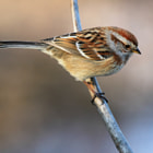Sparrow on stick 5