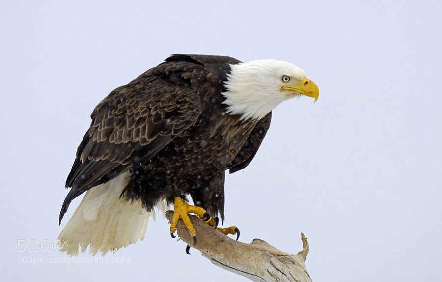 Have no idea what it was the Bald Eagle was angry at, but seeing the look on the face he didn't have the best of time :-) On a perch at the beach of Kachemak Bay, Homer Spit, Alaska.  Best regards, Harry