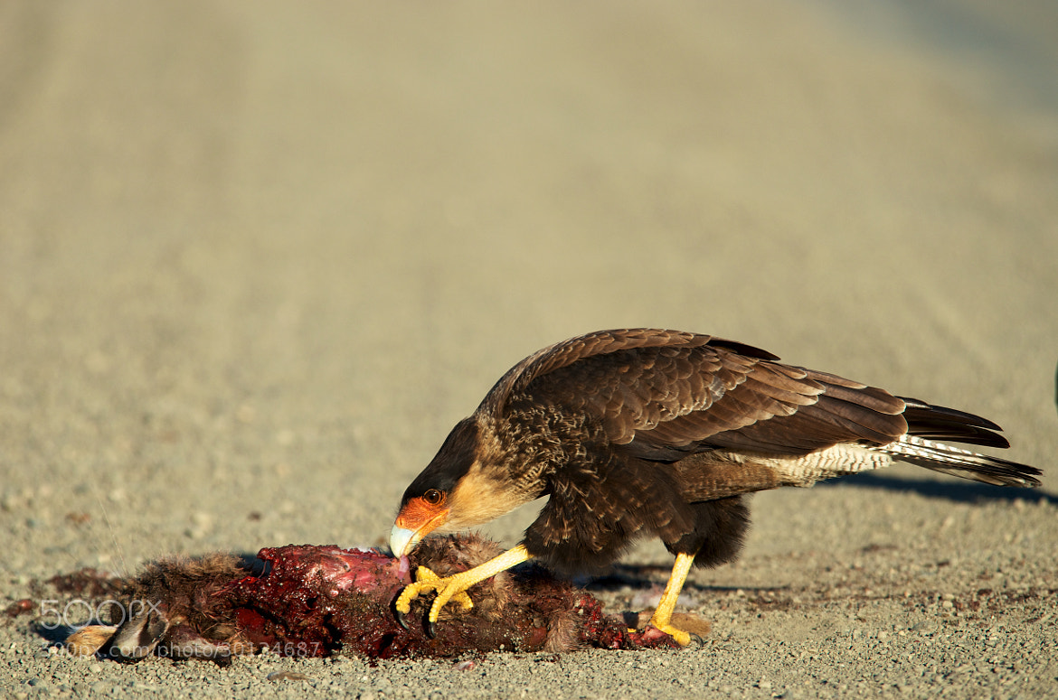 Photograph Southern Crested Caracara 6 by Remco Douma on 500px