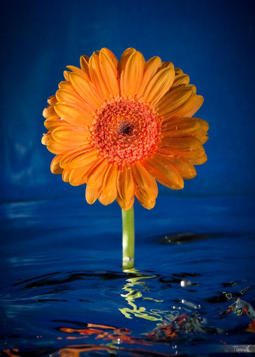 Photograph UnderWater Gerbera by Tomaž Klemenšak on 500px