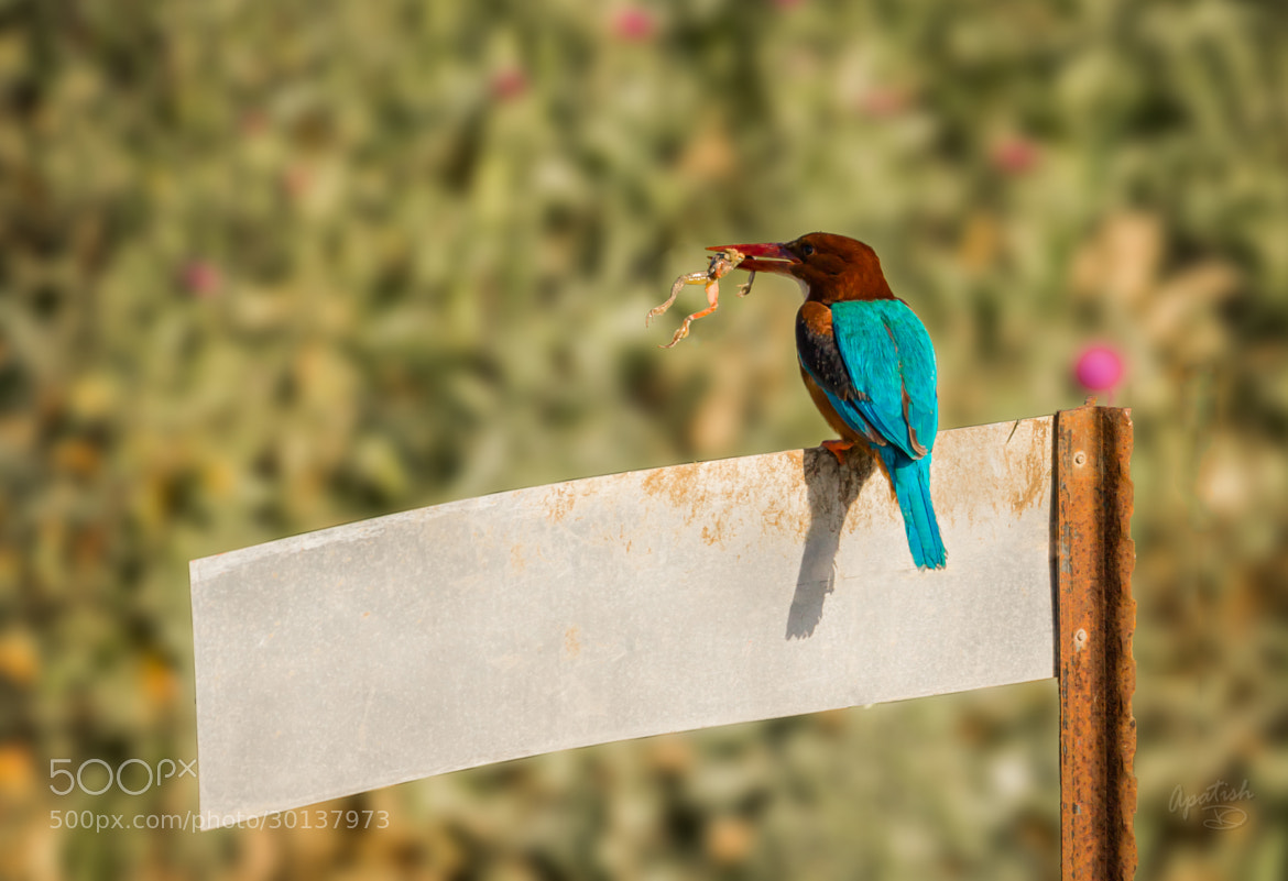 Photograph White-throated kingfisher and a frog by Ariel Patish on 500px