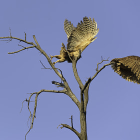 Pel's Fishing Owl at Kwara, Botswana
