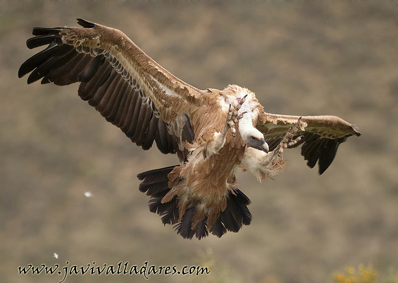 Photograph Griffon Vulture landind by Javier Valladares on 500px