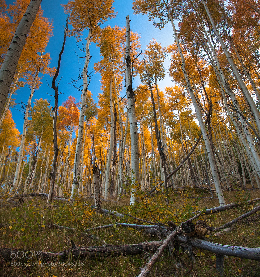 Photograph Aspens by Elena Giorgi on 500px