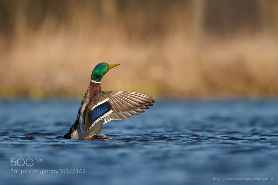 Photograph Wild duck by Walter Soestbergen on 500px