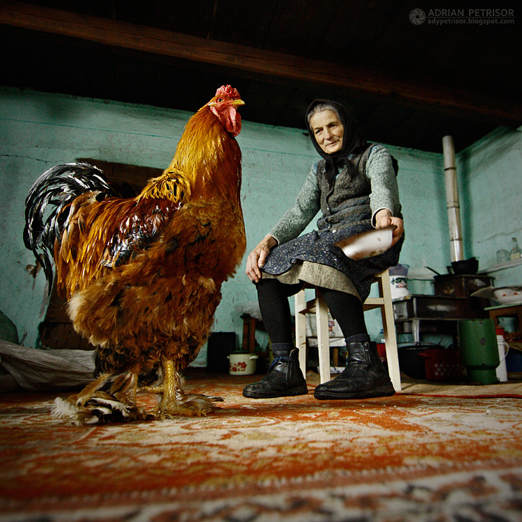 Photograph The story with the red rooster by Adrian Petrisor on 500px