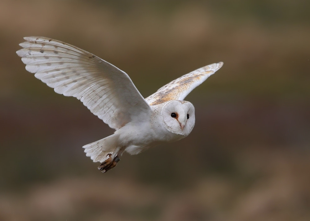Photograph Barn Owl ( wild ) by Karen Summers on 500px