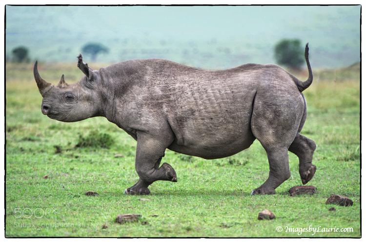 Black Rhino (Maasai Mara, Kenya)
