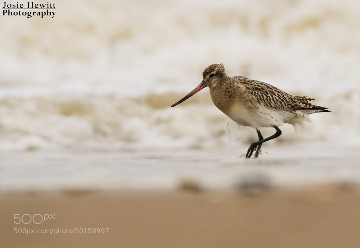 Photograph Bar-tailed Godwit by Josie Hewitt on 500px