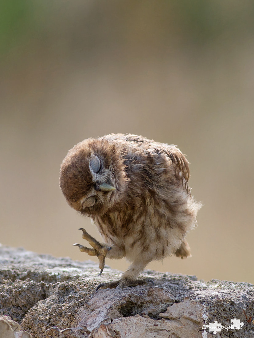 Photograph little owl by MAURIZIO norris on 500px