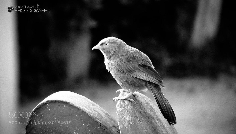 Photograph Angry Bird#03 by Vikum Fernando on 500px