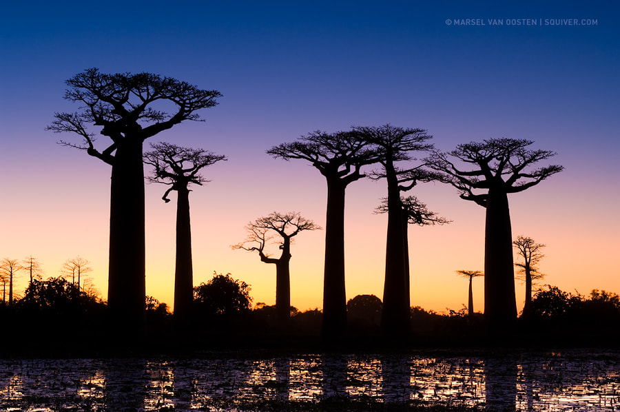 Photograph Baobab Avenue by Marsel van Oosten on 500px