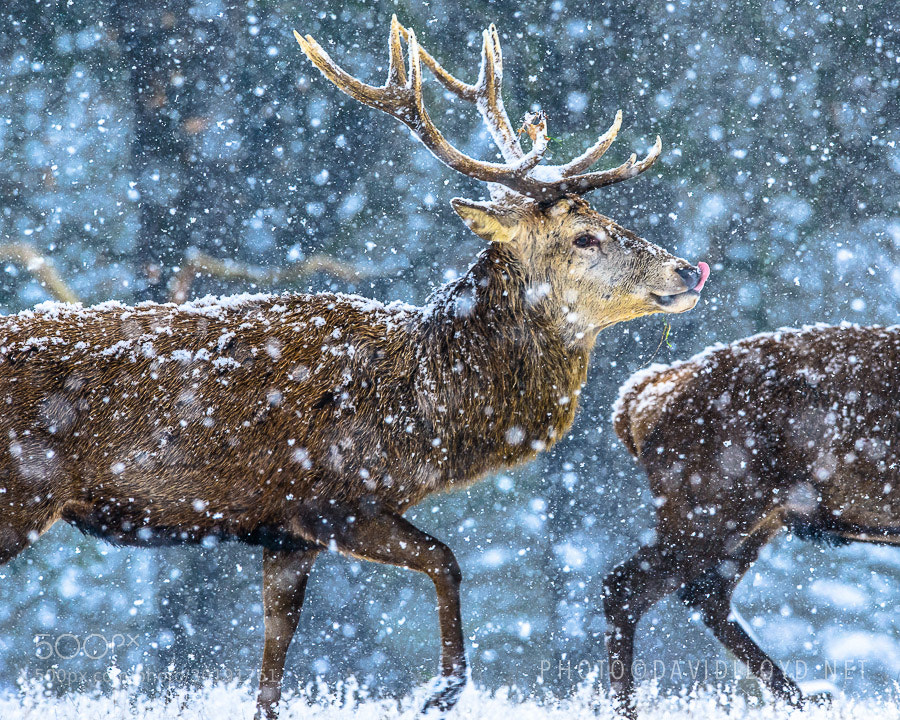 Photograph A Canter In The Snow by David Lloyd on 500px