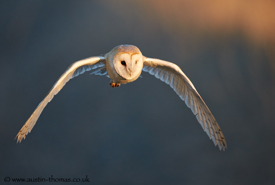 Barn Owl at first light