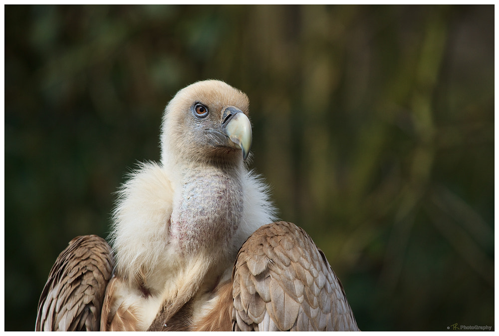Photograph Griffon Vulture by Tobi K on 500px