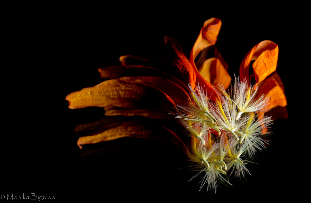 Photograph 124/365  Gerbera End of Life by Monika Bigelow on 500px