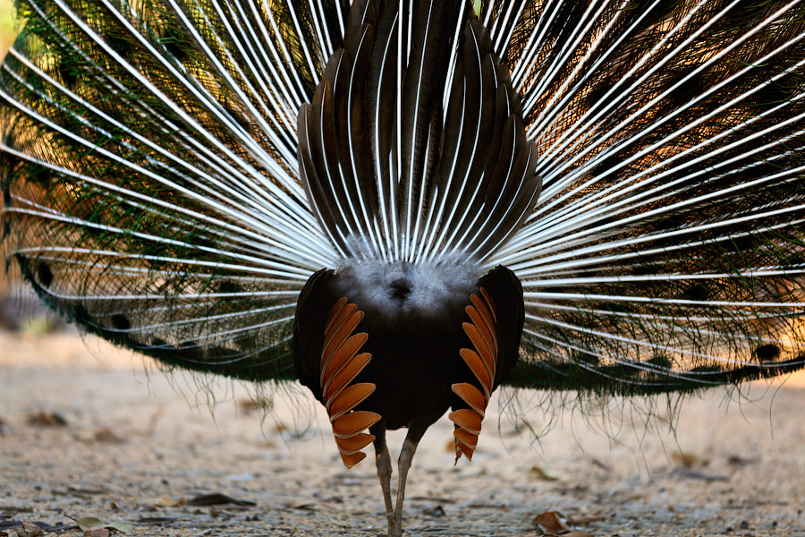 Photograph Peacock: the dark side. by Mark Podrabinek on 500px