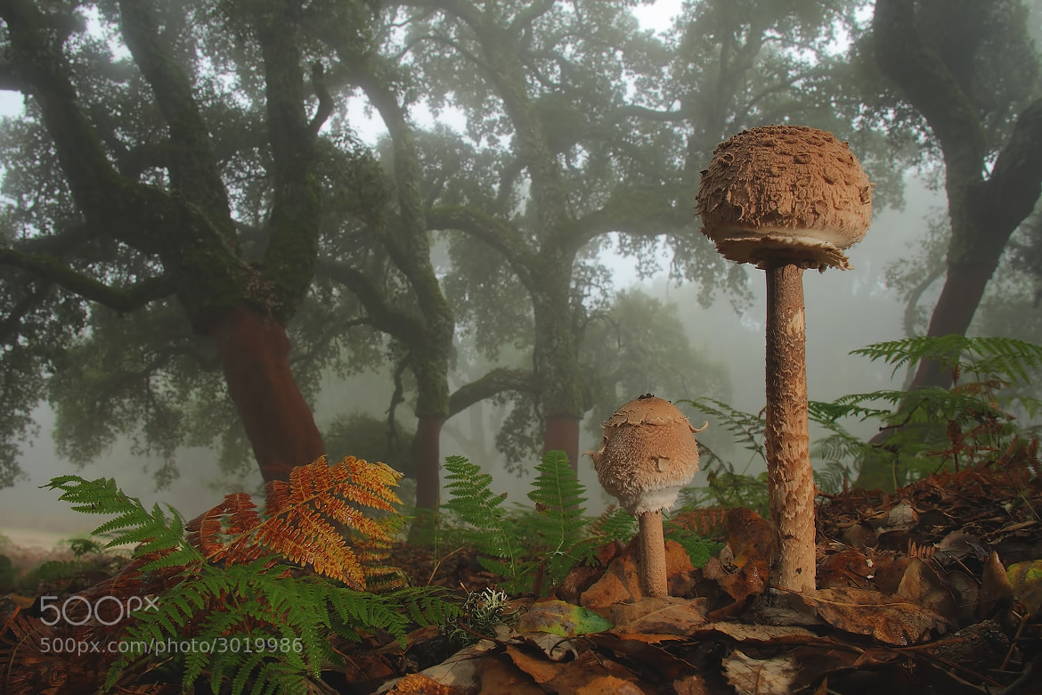 Photograph Macrolepiota by Andrés Miguel Domínguez on 500px