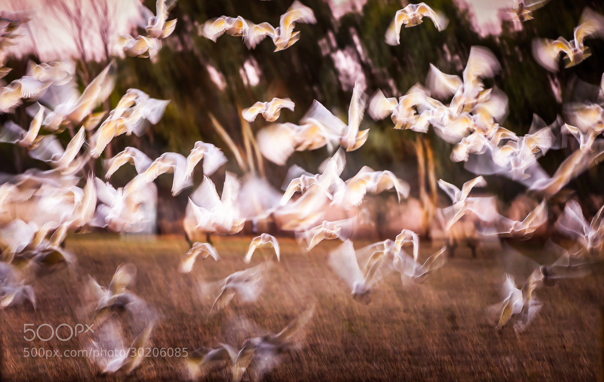 Photograph Day 462, Corella Cacophony by Robert Rath on 500px