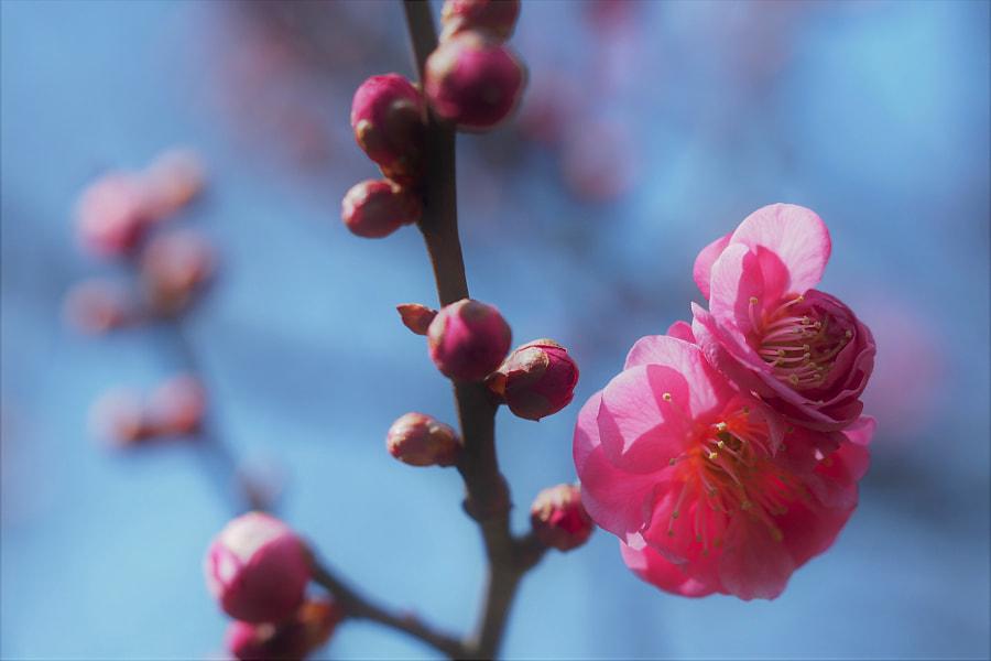 Pink plum by shoji uno on 500px.com
