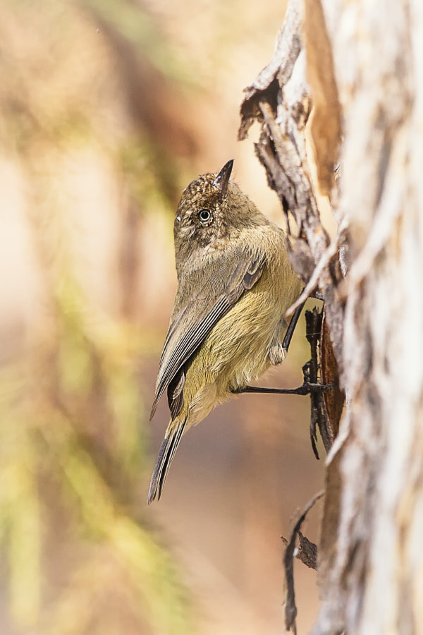Western Thornbill by Paul Amyes on 500px.com