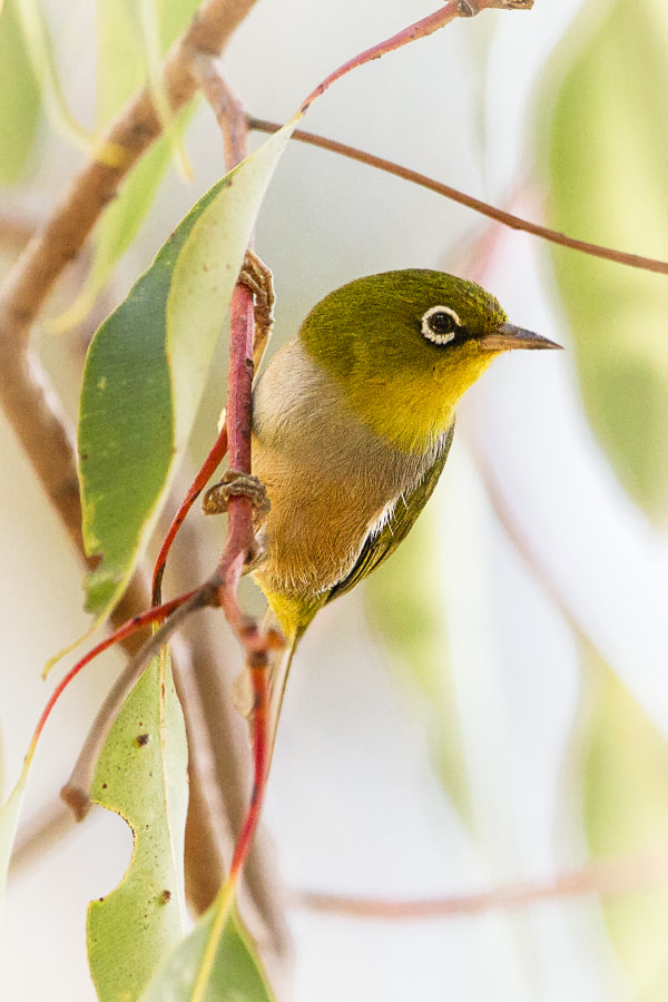 Silvereye by Paul Amyes on 500px.com
