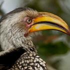 Southern Yellow-Billed Hornbill Toco Sureño de Pico Amarillo South Africa