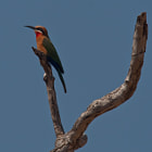 White-fronted Bee-eater Abejaruco de Frente Blanca North Luangwa National Park, Zambia