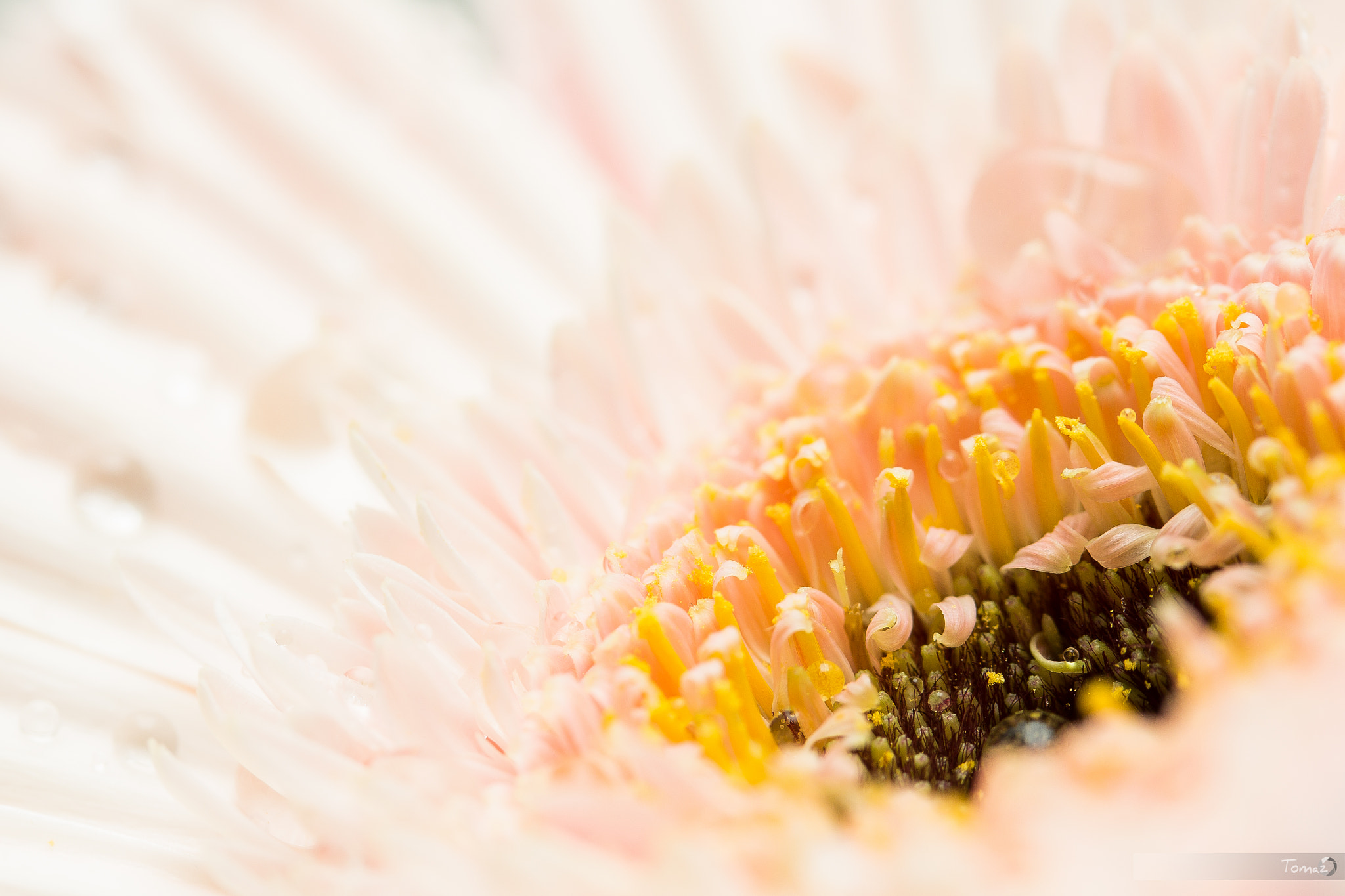 Photograph Gerbera by Tomaž Klemenšak on 500px