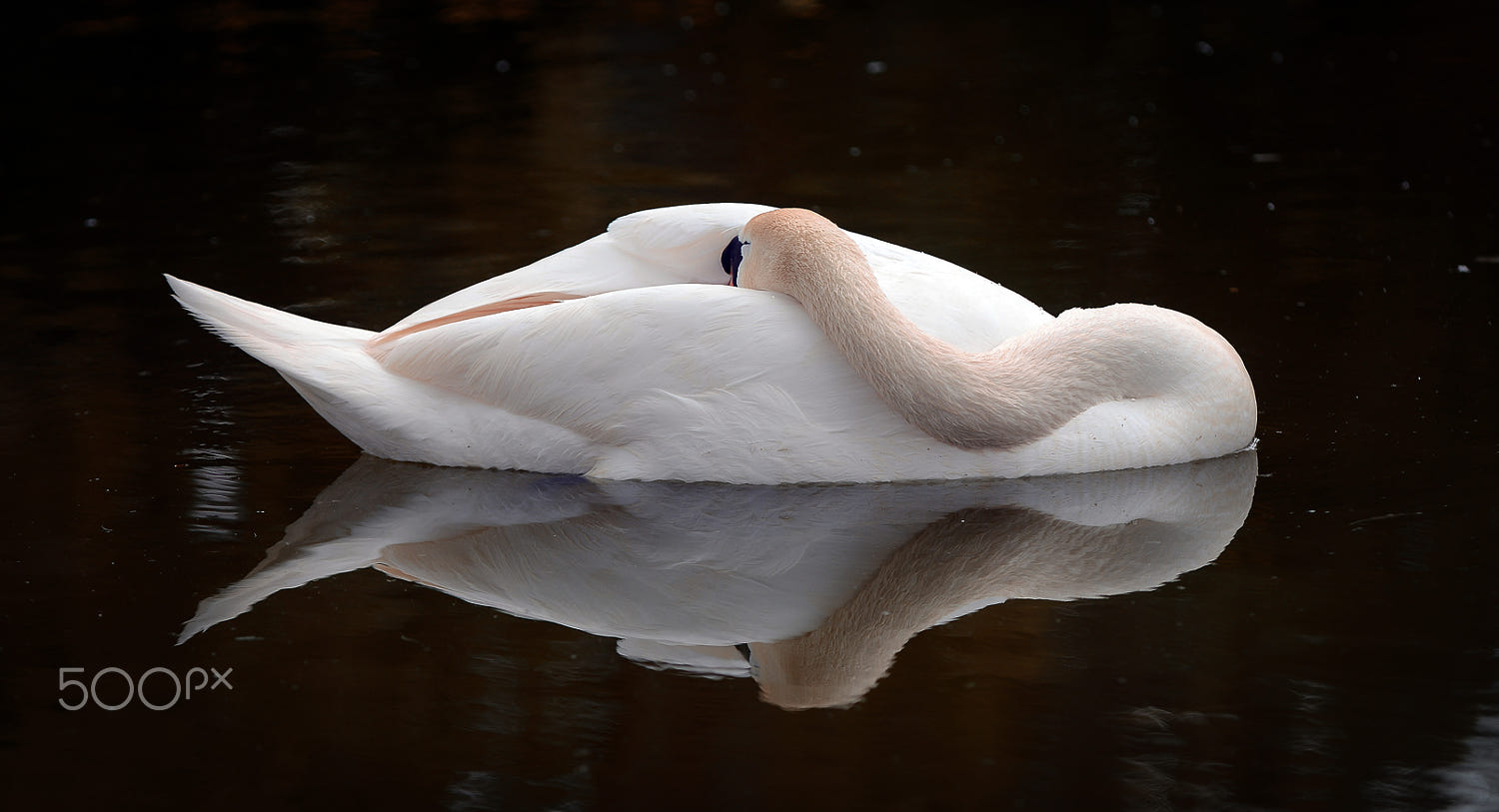 The Sleeping Swans >> Sleeping Swan By Peter Comninellis 500px