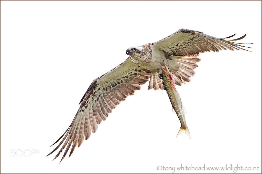Photograph Osprey with catch by Tony Whitehead on 500px