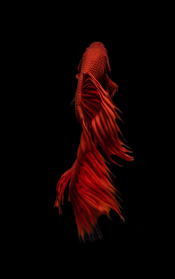 Red Betta Fish by BettaOnFrame. com on 500px.com