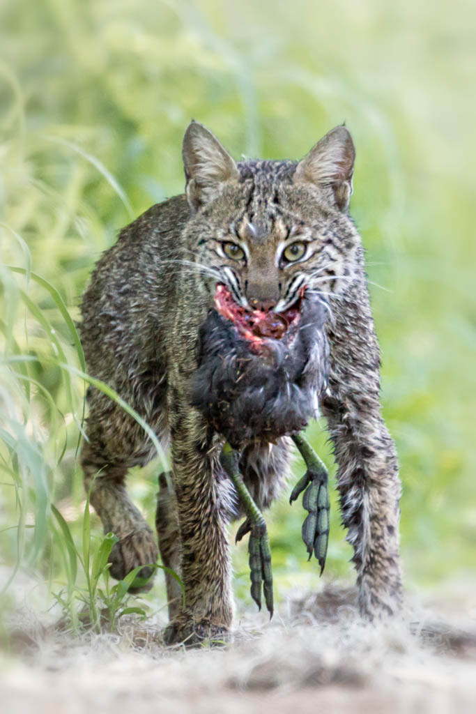 Photograph Bobcat with Breakfast by Jess Yarnell on 500px