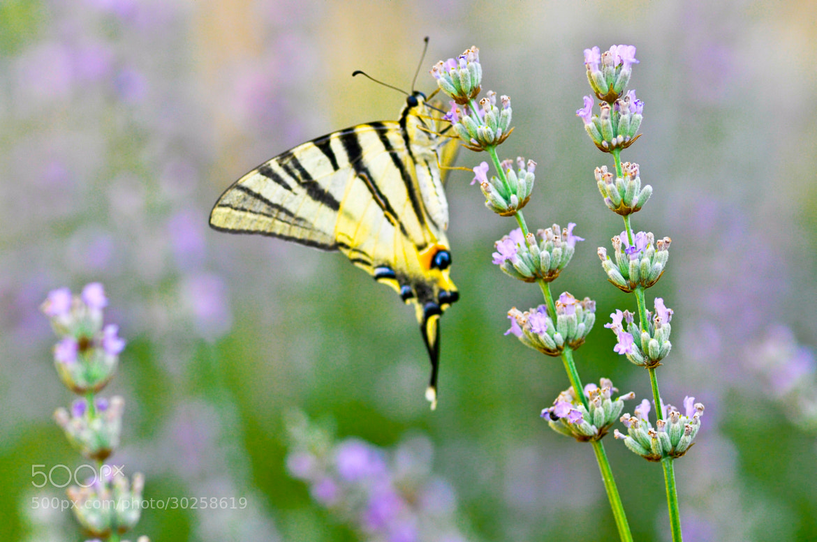 Photograph Tiger Swallowtail Butterfly by Dragan Stanisic on 500px