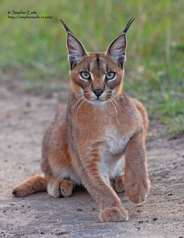 Photograph Caracal by Stephen Earle on 500px