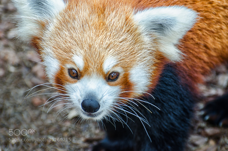 Photograph firefox in the flesh by Kok Leong Lee on 500px