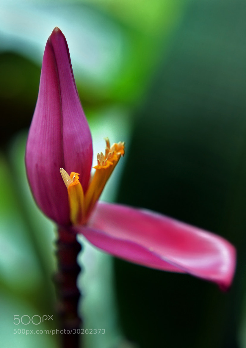 Photograph Banana flower by Amata Tarkmar on 500px