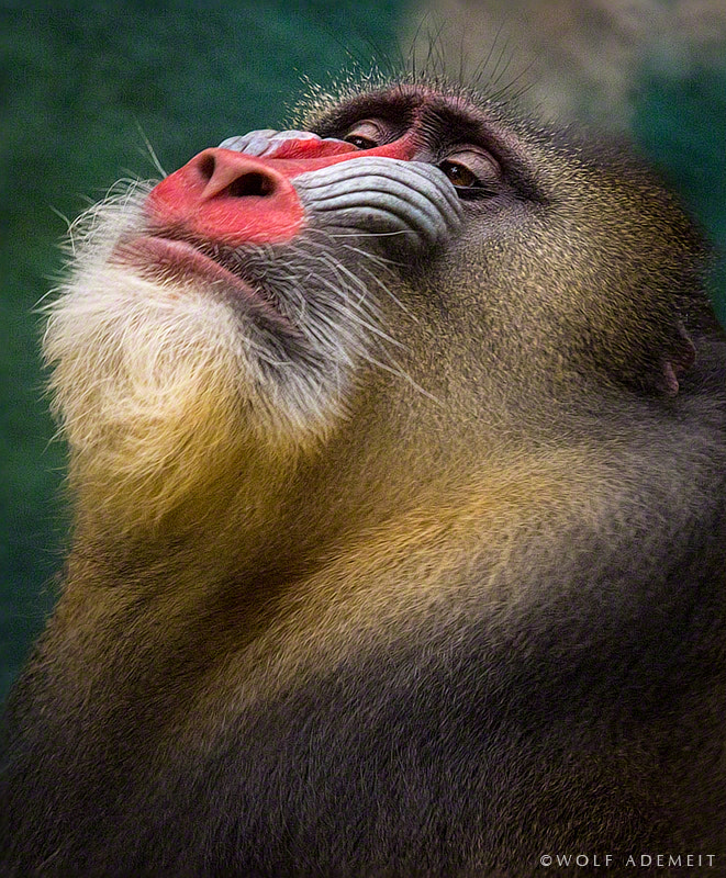 Photograph MANDRILL by Wolf Ademeit on 500px