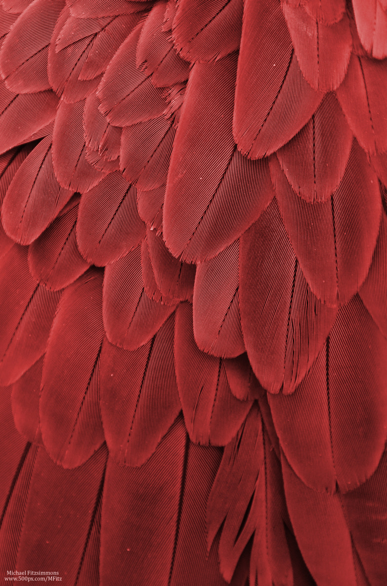 Photograph Macaw Feathers (Maroon) by Michael Fitzsimmons on 500px