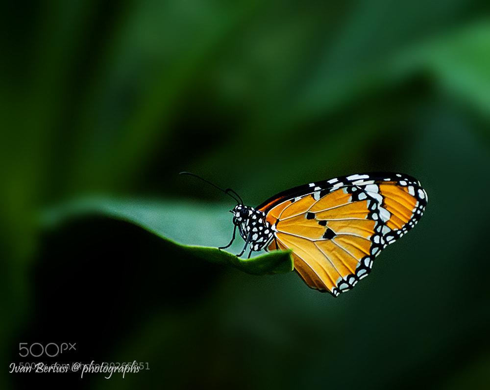 Photograph Un giorno da farfalla by Ivan Bertusi on 500px